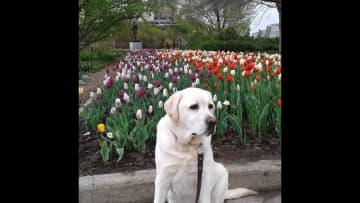 Enjoying tulips at Major's Hill Park.
