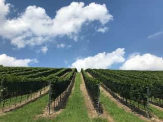 Vineyards near the house