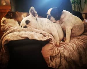 Lola is the black and white frenchie snuggling in