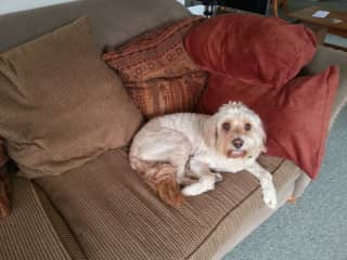 Charlie the Cavoodle, Auckland New Zealand