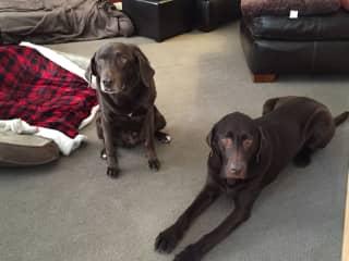 Duke and a look-a-like Belle who we were dog sitting, 2018 Alberta, Canada