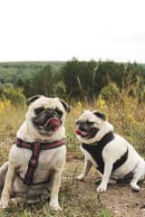 These are Hailey's parents fur pugs. Izzy on the left is 4 years old - full of so much energy and loves to come on adventures with us. Audi is on the right, she's 9, has slowed down a little bit but Izzy definitely brings out the fire in her to make it!