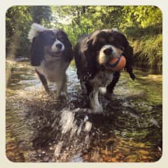 Senna and Jenson from Cheltenham - I got the two of them over their fear of water - now you can't keep them out of it!