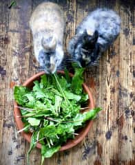 It was so much fun to collect dandelion for these cute bunnies. I learnt the distinction between two main dandelion leaves, ones are the perfect food for rabbits, the others are toxic.