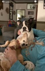 Sophie is a 12-year-old long-haired chihuahua.  She runs the household.  Bogey (Bogart) is. 5-year-old Boston bulldog.  They are both rescues and have been with us since they were old enough to leave their moms.