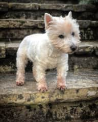 Molly the Westie in Charlton Marshall, England. Still going strong at 17yrs!