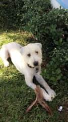 Dublin- Soft Coated Wheaten Terrier