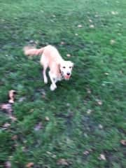 Juno in ball chasing action (London housesit)