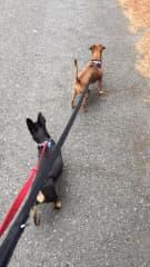 Reilly on a walk