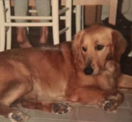 Sandy, my late golden retriever