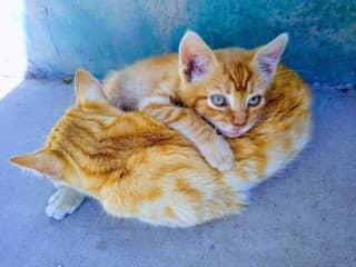 My two Peruvian kittens <3