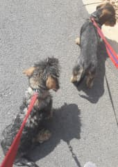 Walking our two wire-haired dachshunds, Cielo and Odin.