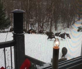 Flock of Turkeys at the Bird Feeder