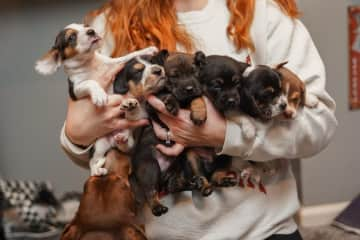Photo day for adoption photos, the photographer wanted a photo of me holding the whole litter. Galaxy Litter pups and mama below