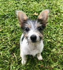 Dapto - the sweetest, naughtiest little ball of fun I've ever had the pleasure of dog-sitting!