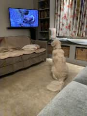 This is Holly interested in Winter watch on the tv, where a pine marten is shown but to Holly I'm afraid it looked like a squirrel. She chases but has never caught.