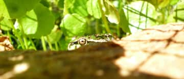 Our wild frogs!