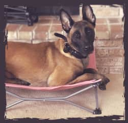 Jack, 4 yr old Malinois.  My own protection dog.