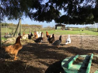 Hens, ducks, gooses... My parents live in a farm, and when visiting, we participate on the daily activities.