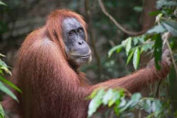 Encountering a beautiful wild Orangutan while trekking through an Indonesian jungle