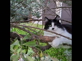 She loves climbing the 2 trees that we have in the backyard but she's 99% indoor cat. Please bring her inside when it starts to get dark by 6pm or so or she'll leave the yard.