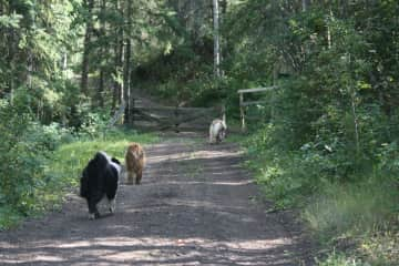 dogs going for a walk on our property