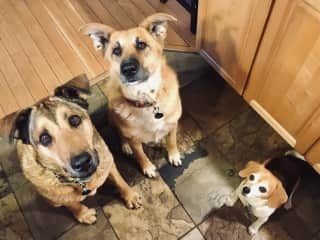 Morgan, George and Hershey. Hershey loves being part of the pack
