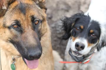 Clem/Shepherd and Maggie/Setter