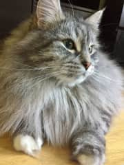 Misha - a beautiful Siberian Forest cat, I looked after Misha and his brother Yoda in Leipzig Germany.