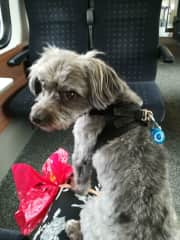 My first dogsitting and his first journey in train. So brave and trusting.