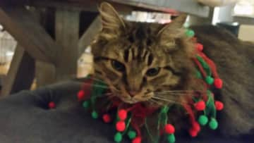 Romeo in his Christmas Finery