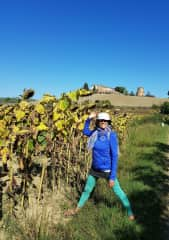 In the presence of towering sunflowers, on the Via Francigena (Italy)