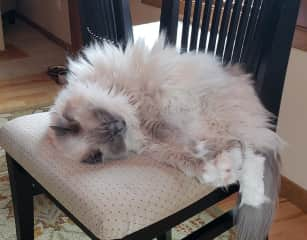 Snoozing on dining room chair.
