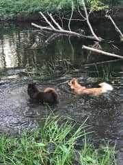 The dogs cooling down in the river