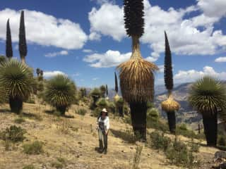 Andrea amazed by the puya forest in Peru, can you believe they are actually a flower...