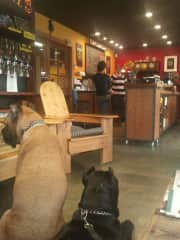 Sophie and Andre, two cane corso fosters, learning their manners at a local coffee shop.