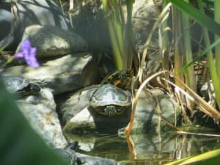 Our Red-eared Slider Turtle Pond