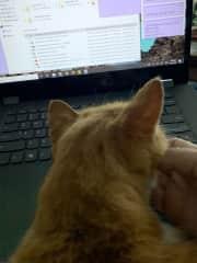 Pumpkin helping me with my work. Pukalani, Maui.