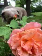 Bogey helps me with my favorite hobby (gardening)