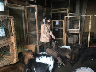 Feeding some goats