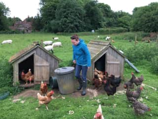 Checking on the chickens