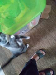 This is Bella, my Grankitty. I am allergic to cats (not severe) so I bought her toys I can play with her with out too much touching. Then she gets the play, touch, loving right before I take my shower. Problem solved. ;-)