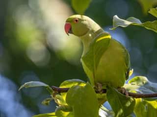 Visiting parakeet