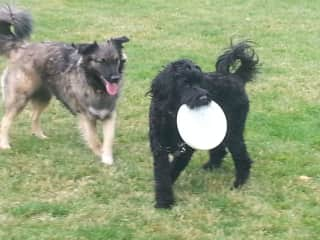 My dog Balboa (with the frisbee) and her pal Jazzy