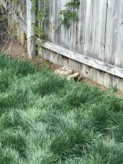 Hershey when I first rescued him enjoying the freedom of free-roaming my backyard.