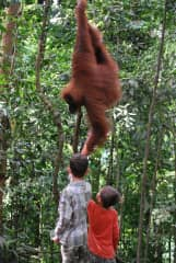feeding the orangutans in a rescue centre at the edge of the jungles of Sumatra, Indonesia