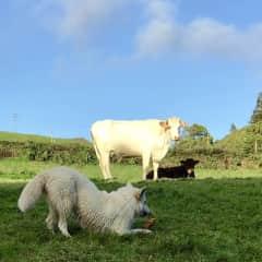Anouk the Swiss shepherd. Faial Island, Portugal