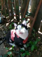 Happy cat in his harness in the yard