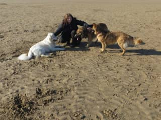 Three beautiful German Sheperds playing at the beach