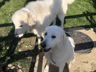 Yuki and Karma. Pyrenees Mountain dogs.